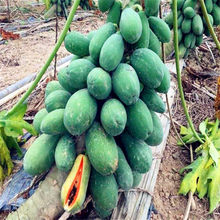 50 Pcs Zoete Grote Papaya Bonsai Biologische Heirloom Groente Fruit plant Bonsai Boom Rood hart papaya Eetbare Plant Voor Thuis tuin(China)