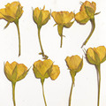 120pcs Dried Side Pressed Yellow Rose Flower Plant Herbarium For Jewelry Bookmark Postcard Phone Case Invitation Card DIY Making