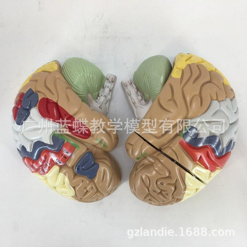 Image 5 - 2 倍の倍率 4 部分人間の脳デジタルインジケータロゴ脳の神経解剖モデル医療用品    -