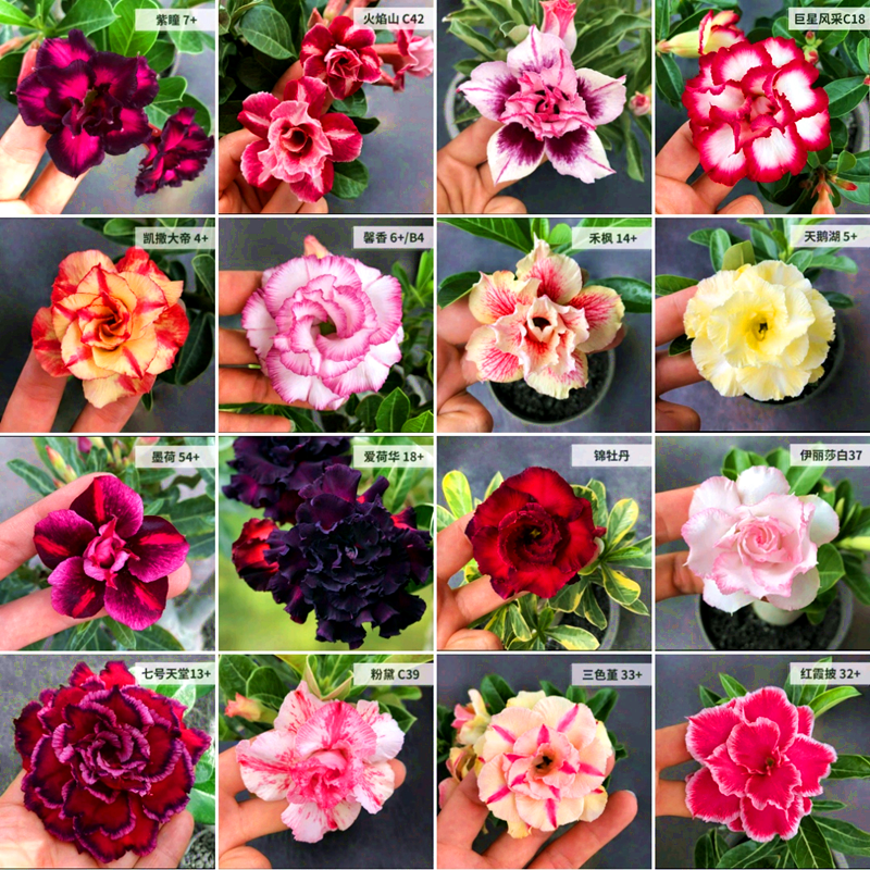 5pcs Desert Rose Adenium Obesum Flower Potted Grow Bags Easy To Grow For Home Garden Planting