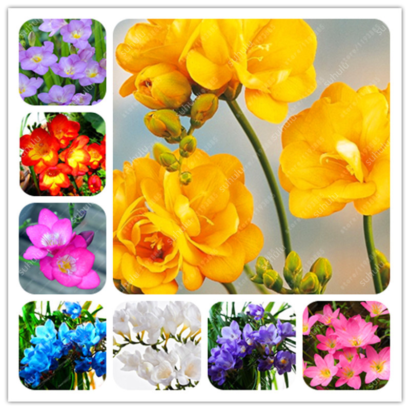 120 Pcs Freesia Bonsai Garden Freesia Bulbs Flower Bonsai Flower Flowers Orchid Freesia Rhizome Bulbous Flowers (Mix Colors)
