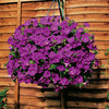 Garden Petunia A1