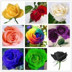 Nasiona kwiatów nasiona róży kolorowe róże cztery pory roku balkon doniczkowe 10 kolorów cena promocyjna 50 nasion|Bukiety ślubne|   -