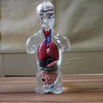 Human Torso Model Internal Organs Model Dismountable Anatomy Medical Teaching Human Organ Model
