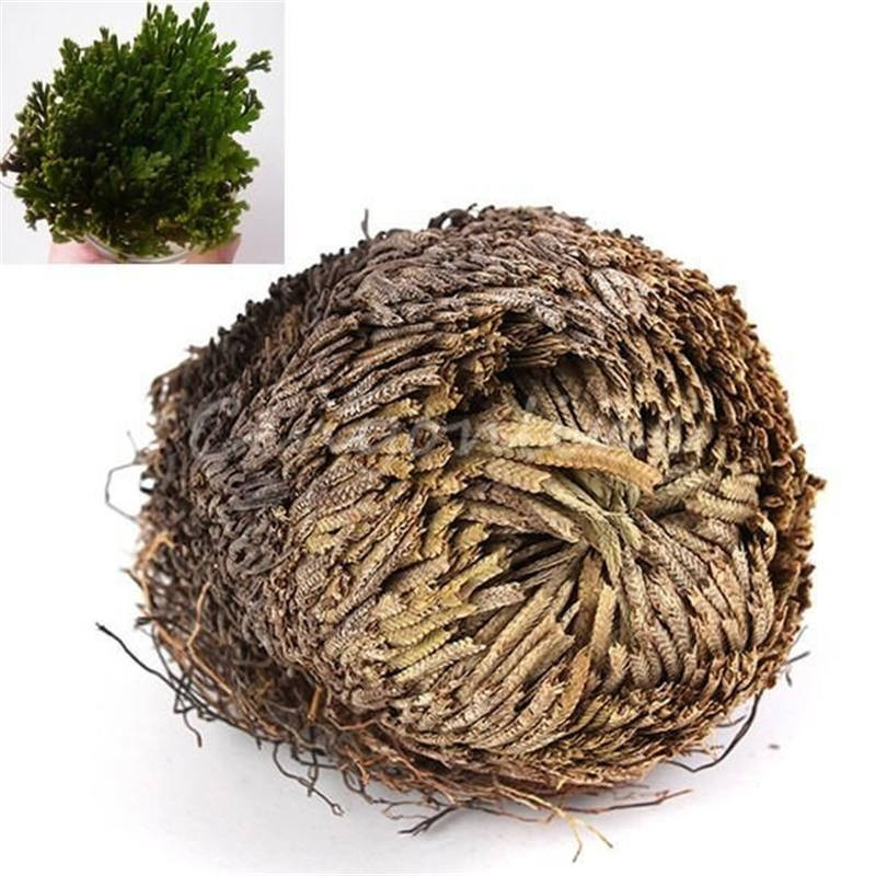 New Hot Practical Live Resurrection Plant Rose Of Jericho Dinosaur Plant Air Fern Spike Moss