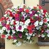 Garden Petunia A8