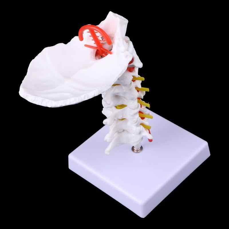 Menselijk Halswervel Arteria Wervelkolom Spinale Zenuwen Anatomisch Model Medische Leren Aid Anatomie