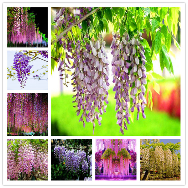 2pcs Hot Sale Outdoor Penzai Wisteria Plant Rare Flower DIY Home Garden Ornamental Climb Rattan Flore Planting
