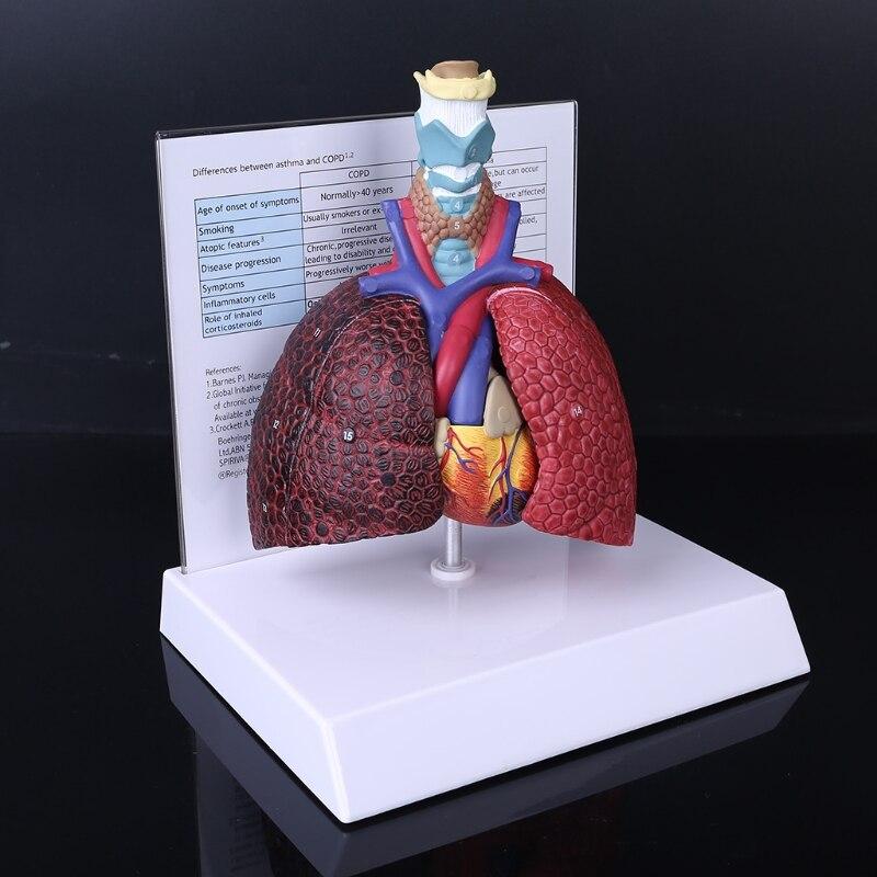 modelo anatomico do sistema respiratorio para 04