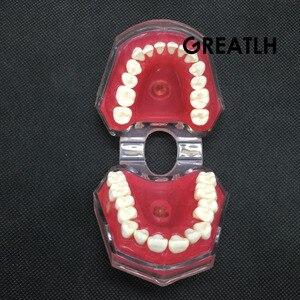 Image 3 - Dental Studie Lehre Modell Standard Modell Abnehmbare Zähne Weichen Gum ERWACHSENE TYPODONT Modell
