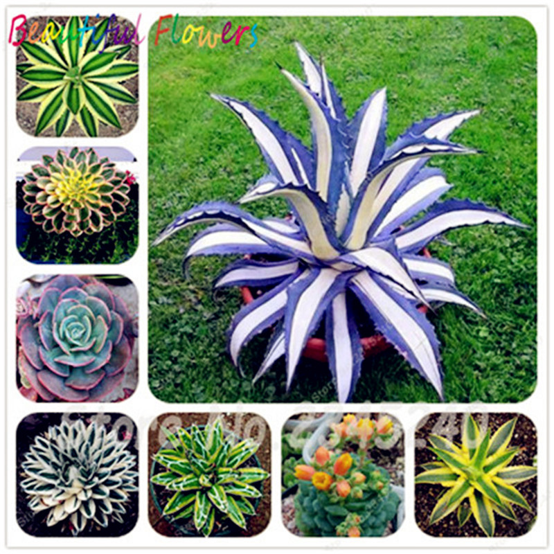 100 Pcs/Bag Aloe Cacti Agave Bonsai, Rare Succulent Plants Bonsai Planta Agave-Americana Potted Agave Plants For Home Garden