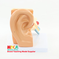 Dismantling 3 Parts Anatomical Ear Model Ear Ossicles Inner Ear Labyrinth Model Auricle Medicine Teaching Med001