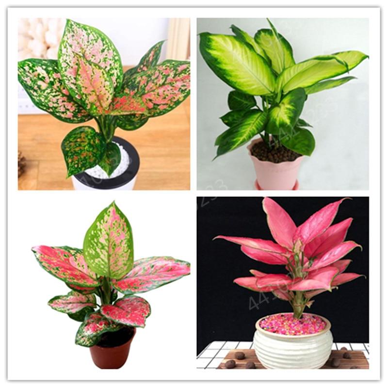 Hot Sale ! Dieffenbachia Bonsai 150Pcs Home Money Tree Plant Rare Indoor Bonsai Plantas,Garden Pottted Plants Perennial Lucky