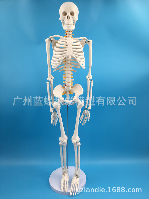 85CM Human Skeleton Of Intervertebral Disc And Spine Neural Model 85 Centimeters Bone Spine Bone Specimen
