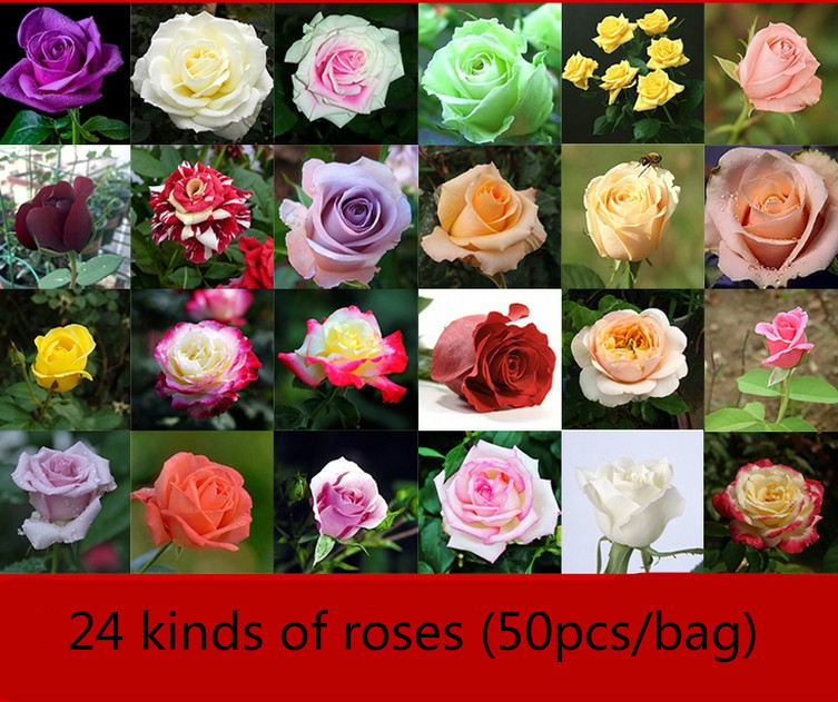 50pcs Red Rose Seeds Green Plant Potted Flowers Flowers Seeds Potted Ground Planting Four Seasons Seed Rose Seeds Garden Tools