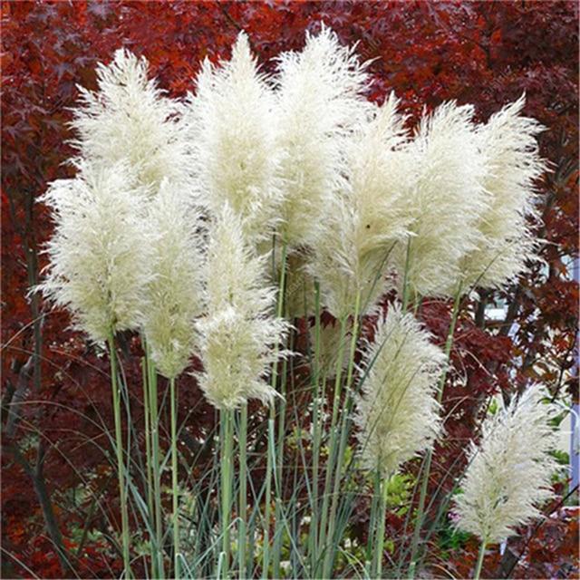 Plant Bath Salts Pampas Grass Essence 100Pcs AN-ZZ05-100 4