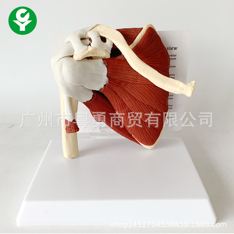 Human Skeleton Shoulder Scapula Clavicle Muscle Model Joint Functional Ligament Medical Teaching Aid
