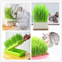 100 pcs/bag Bonsai Cat Grass wheat A kind of Cat food grass orangic grain cereals cropper plants perennial herb for home garden(China)