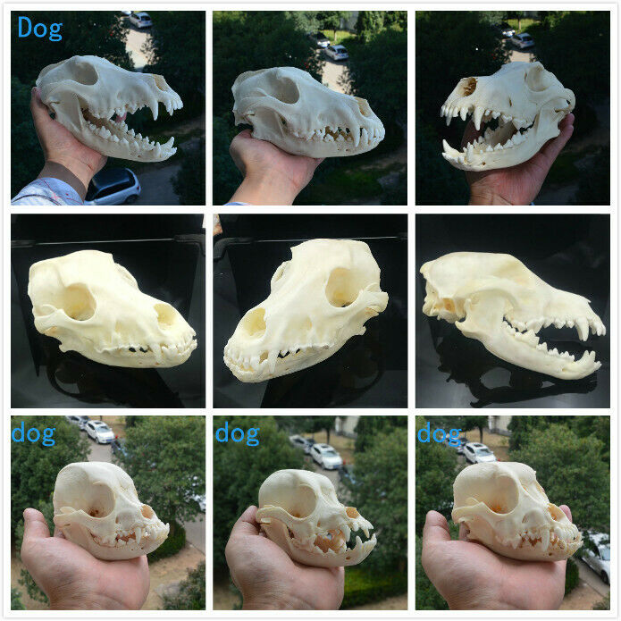 1pcs Real Animal Beast Dog Skull Specimen Collectibles Study Unusual Halloween