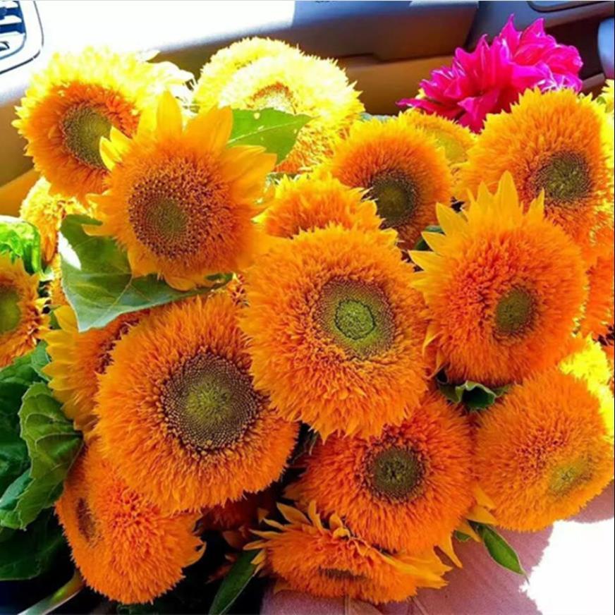 Карликовые семена подсолнечника легко выращивать декоративные горшечные растения комнатные и открытые садовые съедобные семена подсолнечника
