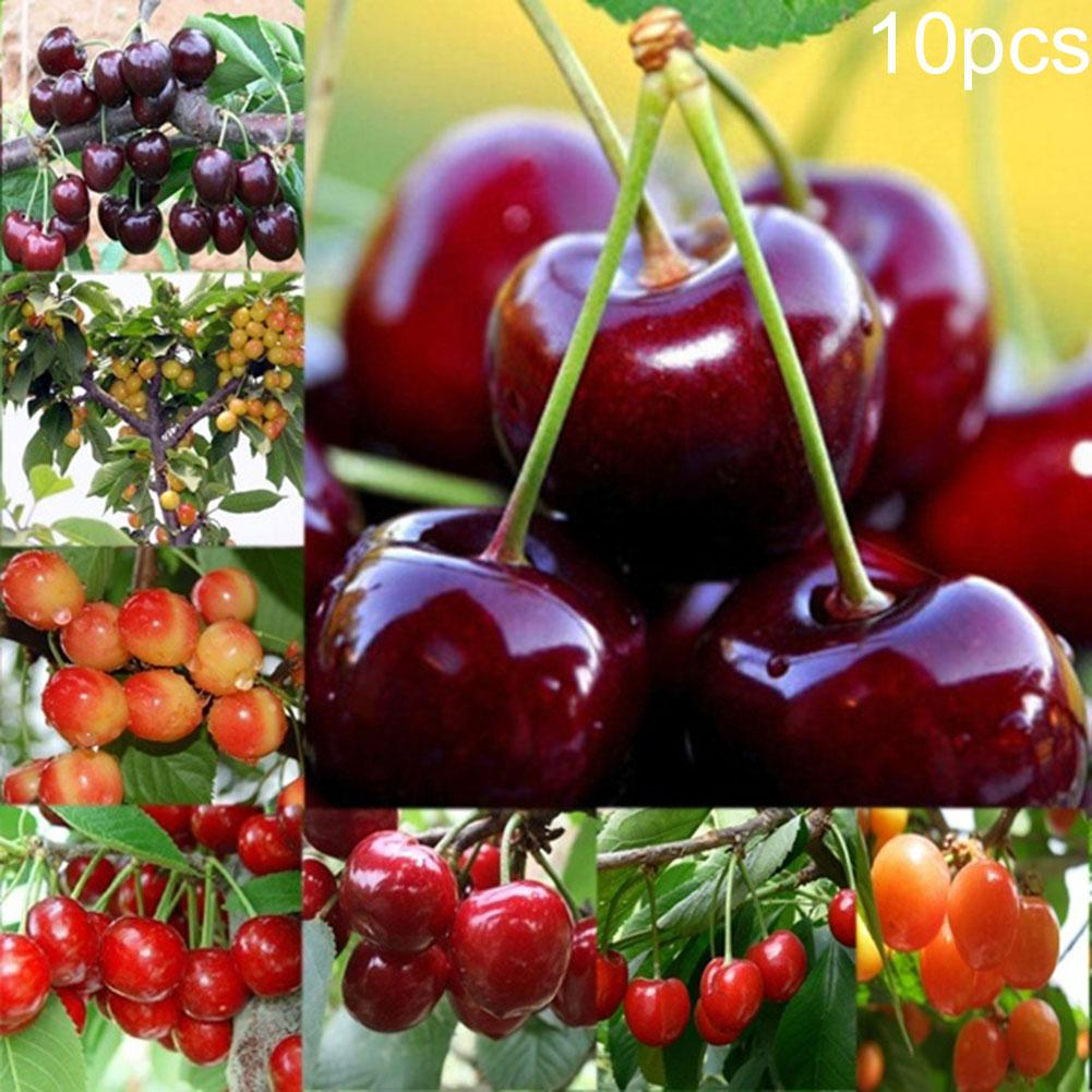 10Pcs/Pack Cherry Tree Seeds Delicious Prunus Avium DIY Fruit Plant Garden Decor
