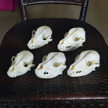 1pcs,3pcs,5pcs real Animal beast dog Skull specimen Collectibles Study Unusual Halloween