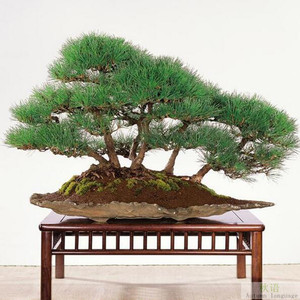 Japanese black pine seedsplant