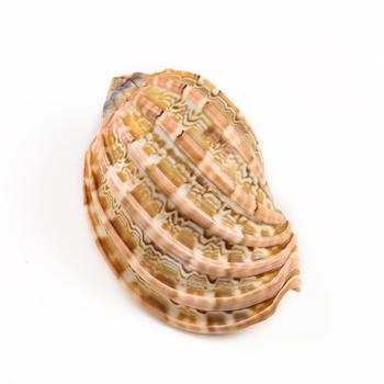 7-10cm naturalne rzadko harfa Shell Carambola muszla muszla kolekcje okaz maskotka zbiornik akwarium krajobraz Nautical Home Decor tanie i dobre opinie CN (pochodzenie) Organiczny materiał Morskie Carambola conch shell 7-8cm 8-9cm 9-10cm