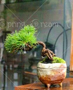 20pcs / Pack Black Pine Bonsai Tree Plant Flower Pot Indoor Bonsai Home Garden Decoration