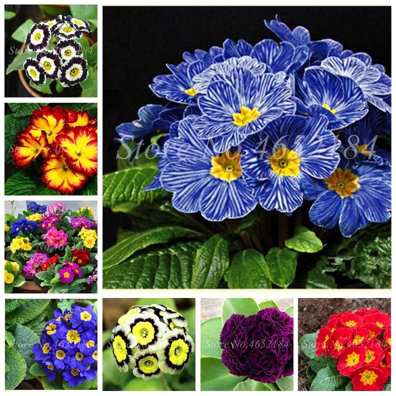 100 Pcs 100% True Europe Primula Acaulis Bonsai Primrose Indoor Bonsai Flower Seedsplants For Home Garden Radiation Absorption