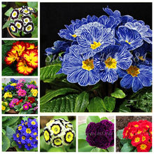 100 Pcs 100% True Europe Primula Acaulis bonsai Primrose Indoor Bonsai Flower Seedsplants For Home Garden Radiation Absorption(China)