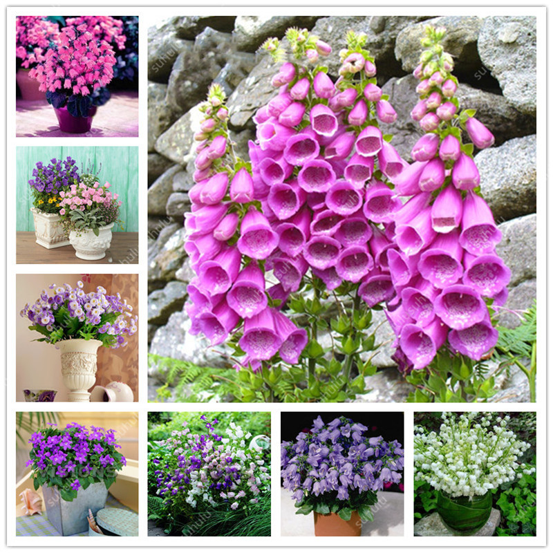 Hot Sale! 100 Pcs Campanula Flower Bonsai Perennial Indoor Flower Potted Plants For Home Garden Ornamental Flower Bonsai Plants