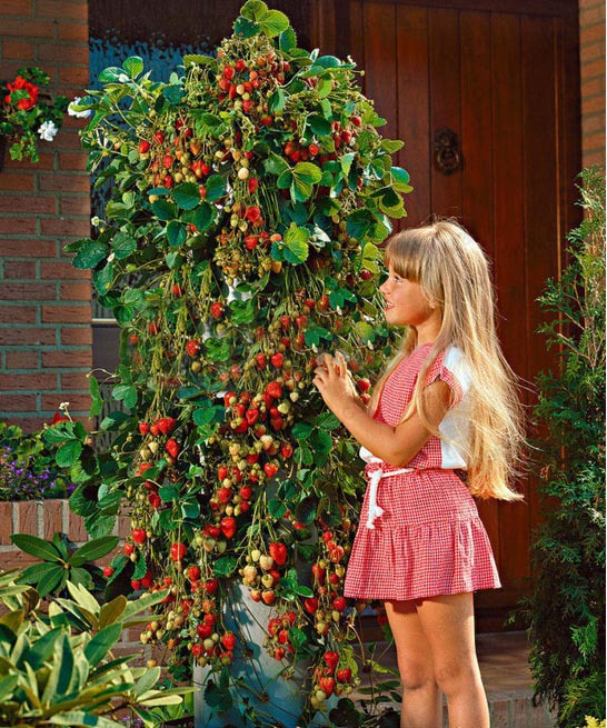 New Arrive Climbing Strawberry Tree  Fruit , A Lot Of Promotions Red Strawberry , 600 Particles / Bag