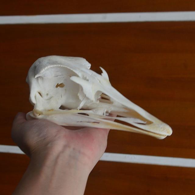 1 adet devekuşu kafatası örnekler koleksiyonu hayvan tahnitçilik
