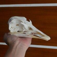 1 قطعة عينة الجمجمة النعام جمع تاكسيدرمي الحيوان