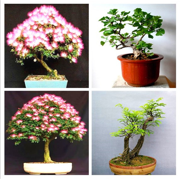 Big Sale!20 Pieces Bonsai Albizia Flower Garden, Called Mimosa Silk Tree ,flores For Flower Potted Plants