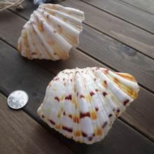 Artesanía de Concha Grande Natural para el hogar, decoración de mar marino, conchas de tanque de peces gigantes, decoración del hogar