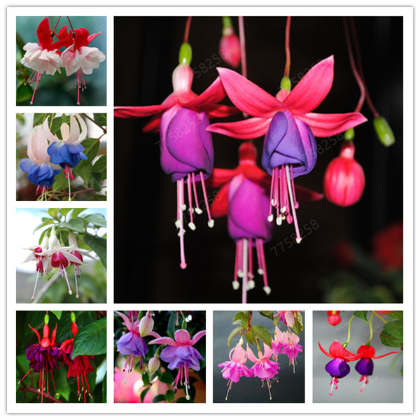 100 Pcs/Bag Multiple Color Fuchsia Penzai, Hybrida Hort Flores, Penzai Lantern Flowers, For Garden Home Indoor Blooming Plants