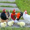 Пасхальная имитация пушистого цыпленка, Реалистичная игрушка-животное, мягкое реалистичное куриное животное, весенний Пасхальный подарок,...