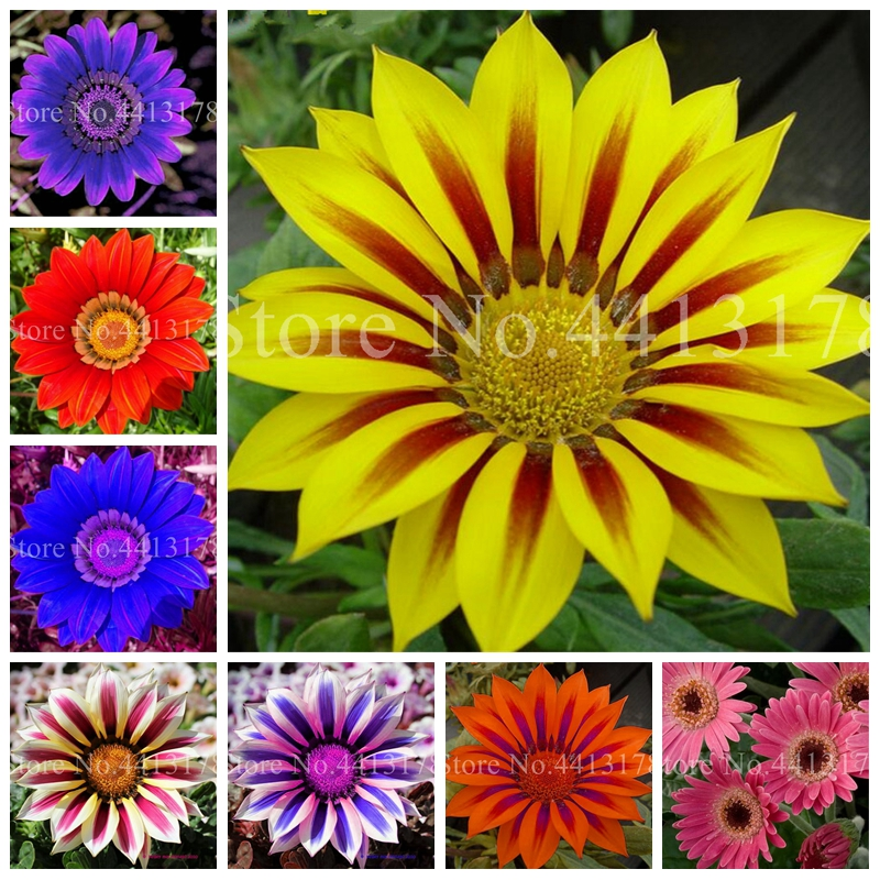 Bonsai Flower 100 Pcs/ Bag Gazania Flower Garden Balcony Potted Plant Outdoor Gazania Africa Chrysanthemum DIY Home Garden Pot
