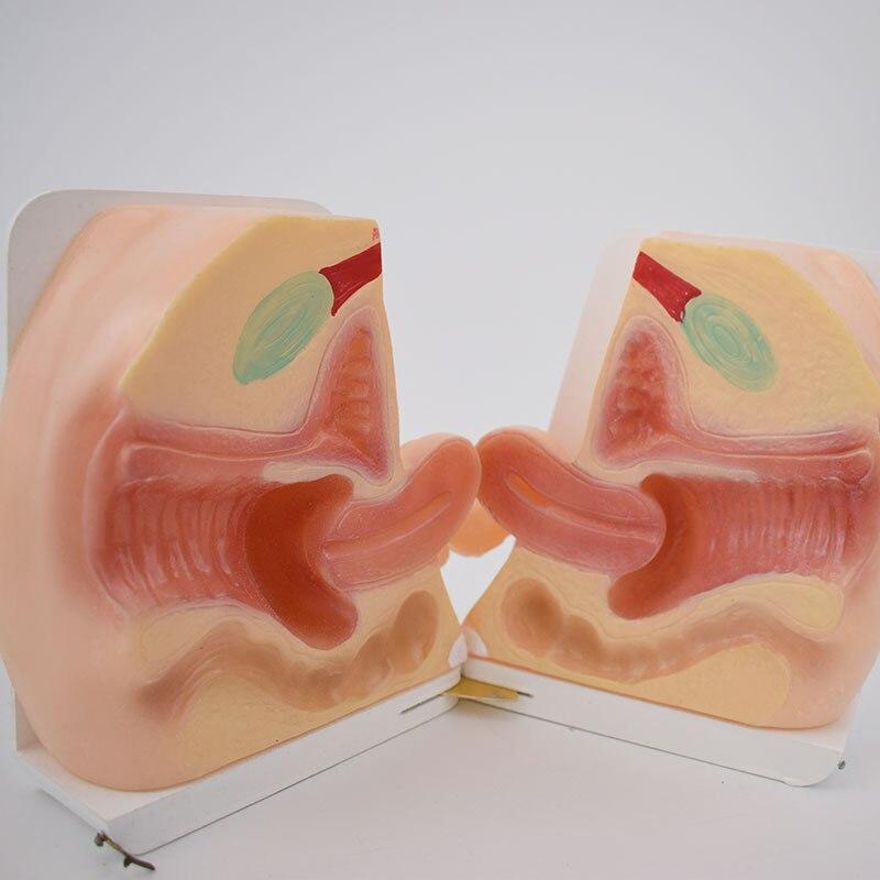 1:1 Life Size Female Internal External Reproductive Model Uterus Postpartum Pelvic Repair Display Teaching Aids