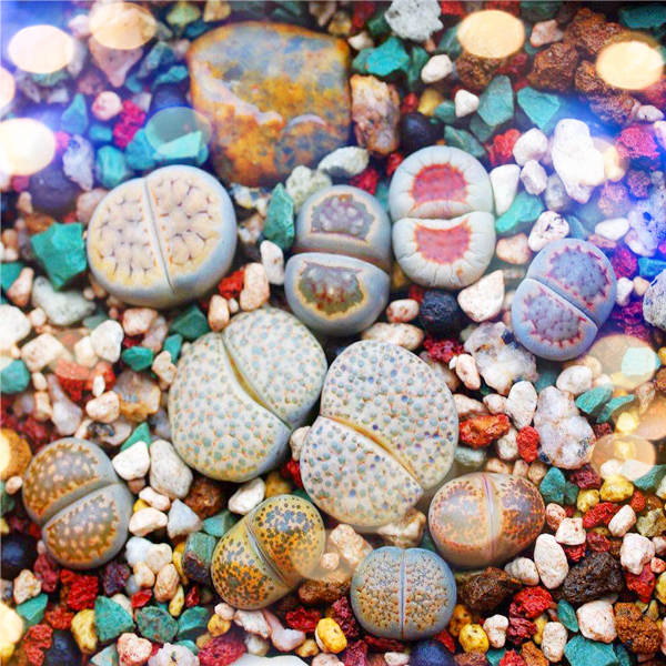 100pcs Mix Lithops Bonsai Living Stones Flower Succulent Cactus Organic Plant Home Garden