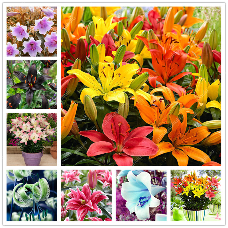 100 Pcs Mix Color Lily Bonsai Flowers Plantas Perfume Lily Flores Perennial Indoor Flowering Potted Plants For Home Garden Decor