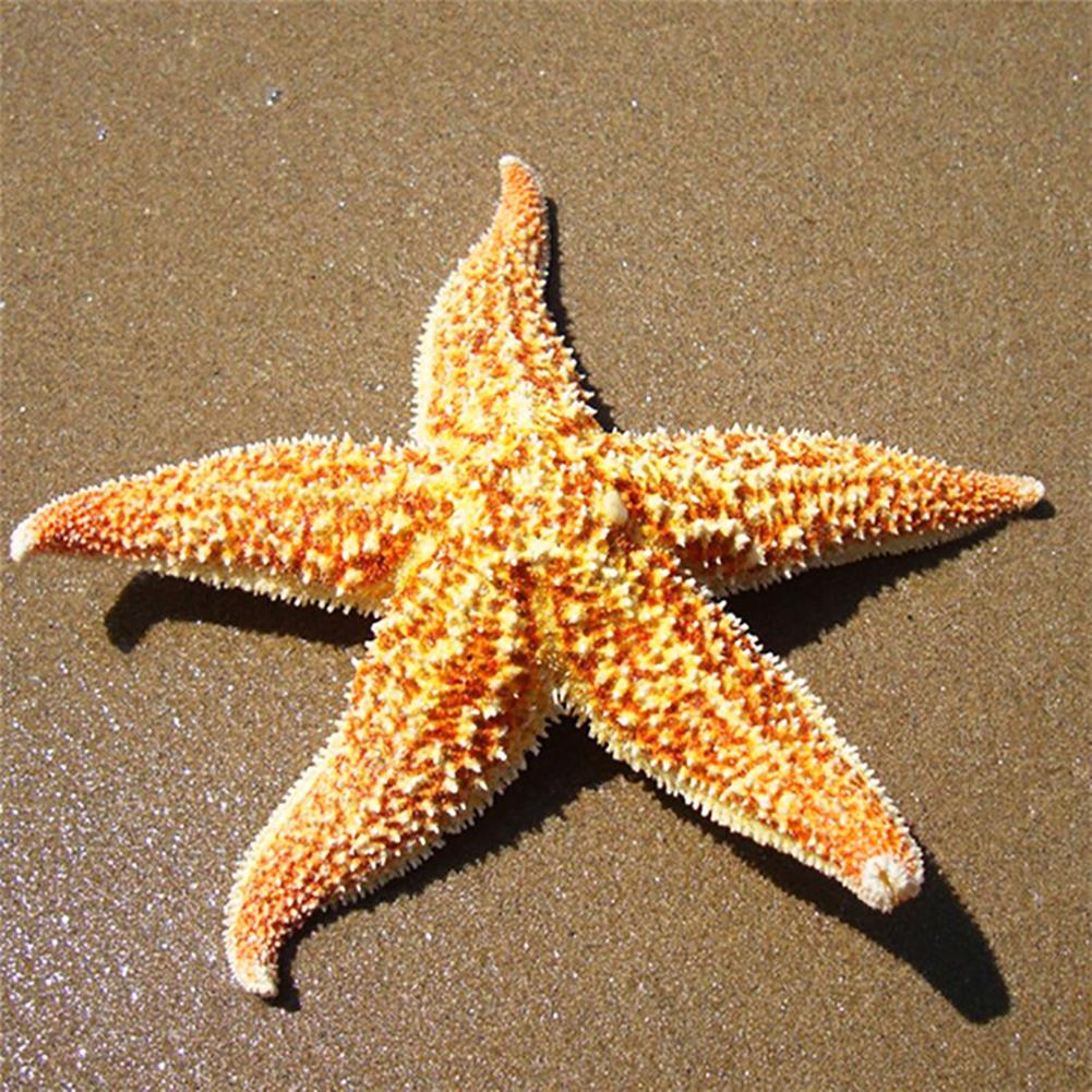 2Pcs Golden Natural Dried Starfish Sea Star Beach Craft Wedding Party Home Fish Tank Decoration Gift Great Gift