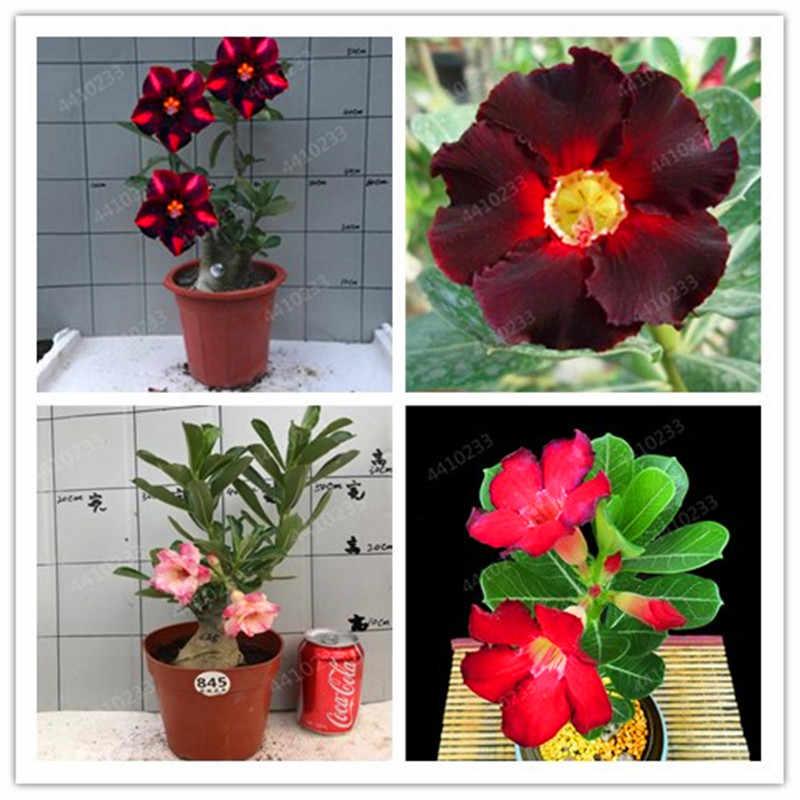 بيع كبيرة! 100 قطعة/الحقيبة العدينة Obesum زهرة بونساي النبات للمنزل حديقة العالم نادر جميلة الزهور