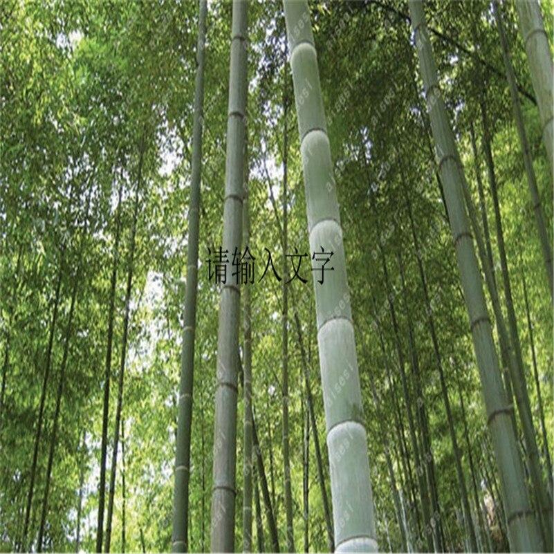 40pcs Fresh Giant Bamboo