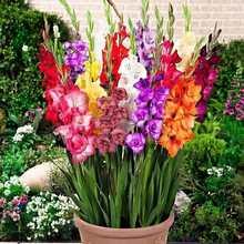 Lâmpadas gladiolus, 2 peças, decoração de plantio de jardim doméstico, vaso de flores bonsai, flores secas