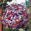 Garden Petunia A13