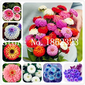 100 Pcs Zinnia Bonsai Rare Variety Heat Tolerant Garden Flower Flowering Plants Potted Charming Chinese Flowers Easy Growing