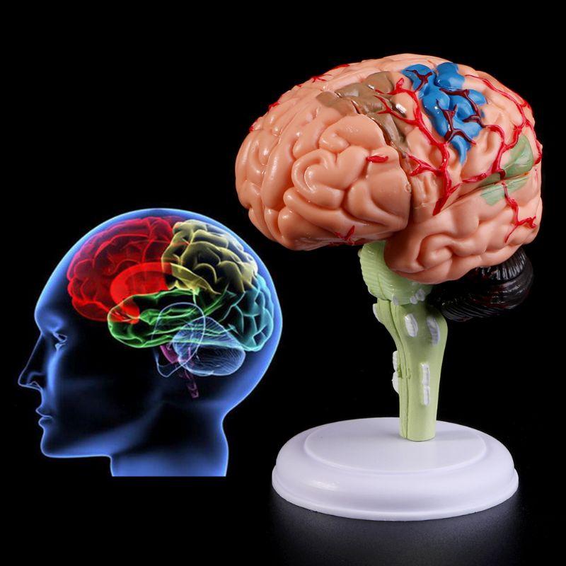 4D Разобранная анатомическая модель человеческого мозга Анатомия медицинский обучающий инструмент статуи скульптуры медицинская школа использования